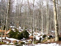 Bosco Monte Amiata - inverno - Arcidosso (1621 clic)