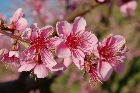 Pescheti in fiore - Fiumicello (2980 clic)