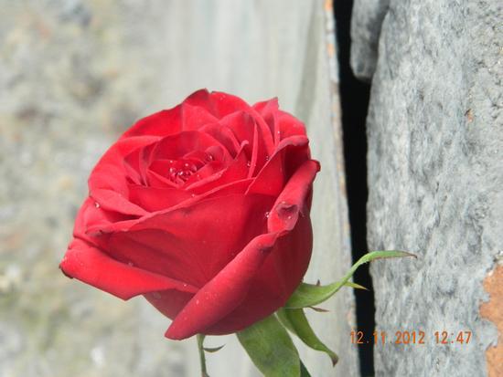 Una rosa è una rosa é una rosa - Catania (1528 clic)