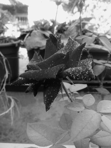 Rosa in bianco e nero - Catania (6 clic)