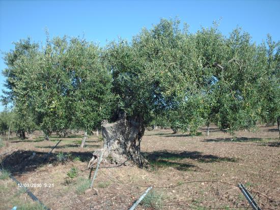 Selinunte: ulivo  (3854 clic)