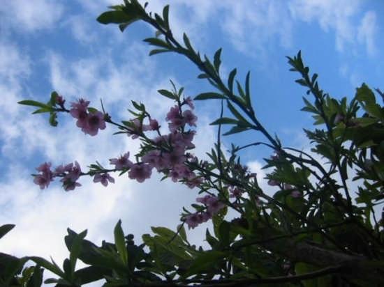 Fiore di Pesco - Palermo (2957 clic)