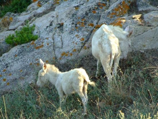 Asinelli albini - Asinara (5181 clic)