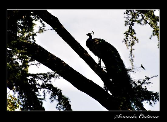 il pavone sull'albero - Cuggiono (2570 clic)