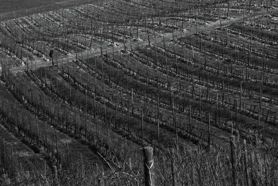 i filari d'uva del monferrato - Mombello monferrato (2018 clic)
