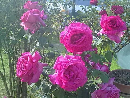 ROSE DI GIUGNO. -  - inserita il 04-Jul-12