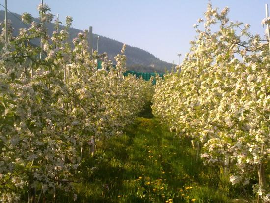 MELI IN FIORE - Brez (2517 clic)