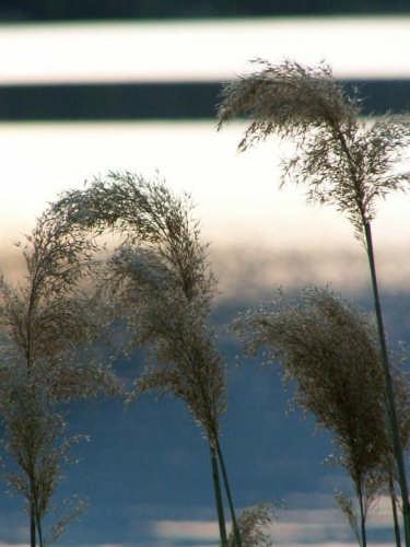 piante al lago 1 - Scanno (2090 clic)