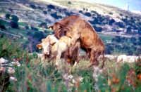 Mucche della razza modicana  - Iblei (16197 clic)