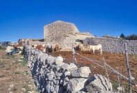 Mucche al pascolo in una fattoria del modicano MODICA Giambattista Scivoletto
