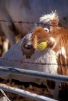 Mucche al pascolo MODICA Giambattista Scivoletto