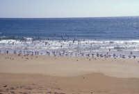 Stormo di Gabbiani sulla spiaggetta fra Sampieri e Cava d'Aliga  - Sampieri (5839 clic)