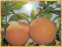 Arance della salute  - Rosolini (3596 clic)