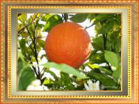 Arance della salute  - Rosolini (4020 clic)