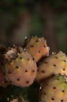 fichi d'india  - San piero patti (3288 clic)