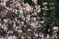 mandorle  - San piero patti (5241 clic)