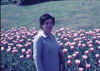 I tulipani lilla e Lilla tra i tulipani  - Paternò (2860 clic)