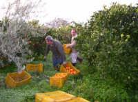 Febbraio 2006 Raccolta delle arance Tarocchi di Sicilia  - Paternò (12173 clic)