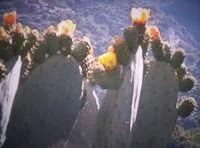 Pianta di ficodindia ancora in fiore [prima sagra del ficodindia Nov.2004]  - Santa maria di licodia (2551 clic)