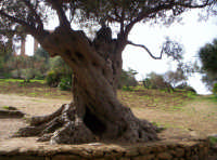 Ulivo secolare nella Valle dei Templi ad Agrigento.  - Agrigento (4705 clic)