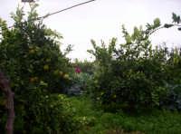 Broccoletti nell'agrumeto Nov.2004  - Paternò (1766 clic)