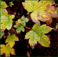 Le foglie bagnate  - Catania (3455 clic)