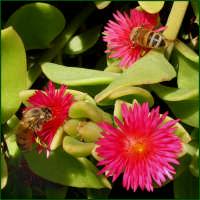 Le api  - Catania (2610 clic)