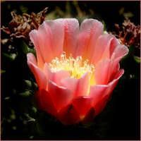 Fiore di ficod'india  - Paternò (3961 clic)