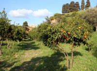 Albero di arancio nella splendida Kolymbetra.  - Agrigento (4453 clic)