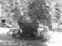 S.Maria di Licodia. Piazza degli Ulivi, ex Chiusa Balzo. Gli ulivi millenari,  I PIU' ANTICHI DI SICILIA.  - Santa maria di licodia (9807 clic)