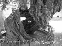 S.Maria di Licodia. Piazza degli Ulivi, ex Chiusa Balzo. Gli ulivi millenari,  I PIU' ANTICHI DI SICILIA. Citati da Cicerone nelle Verrine.  - Santa maria di licodia (6000 clic)