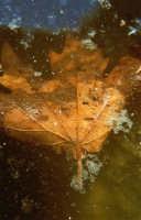 Foglia  - Cava grande del cassibile (5942 clic)