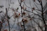 mandorlo in fiore  - Eraclea minoa (2036 clic)