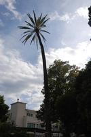 Facoltà di scienze agrarie di Palermo.Secolare palma da datteri lungo il percorso della Fossa della