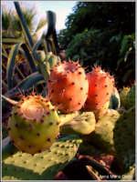 Tipica pianta succulenta siciliana,chiamato fico d'india.  - Pantelleria (6133 clic)