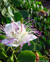 Fiore del cappero  - Pantelleria (4089 clic)
