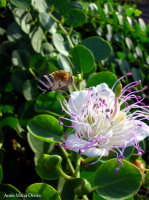 Fiore del cappero #2  - Pantelleria (4607 clic)