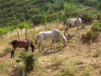 cavalli  - Tortorici (5889 clic)