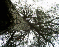 il pino più anziano del parco  - Etna (1840 clic)