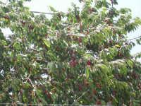 Chiusa Sclafani città delle ciliegie. Albero di ciliegio in piena produzione.   - Chiusa sclafani (4903 clic)