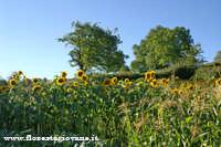 Foto campo di girasoli scattata a Floresta (Me)  - Floresta (4421 clic)