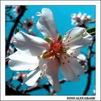 Almond-blossom  - Agrigento (2358 clic)