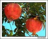 Melograni  - Agrigento (2428 clic)
