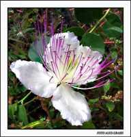 Fiore di cappero  - Agrigento (2604 clic)