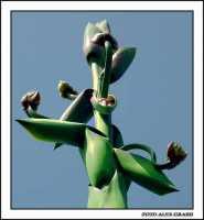 Infiorescenza di agave  - Agrigento (2308 clic)