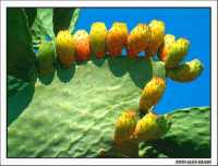Fichidindia (Opuntia ficus-indica)  - Agrigento (3220 clic)