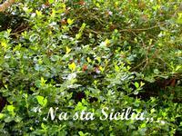 Agrifoglio gigante Il sentiero naturalistico di Piano Pomo è uno dei più suggestivi del Parco; qui dominano la radura in tutta la loro maestosità esemplari unici di Agrifoglio gigante che formano un boschetto fitto e denso con esemplari alti fino ai 15 metri e larghi fino a 4 metri, vecchi anche più di trecento anni rappresentano una notevole peculiarità ambientale.  [continua a leggere: http://nastasicilia.blogspot.it/2012/10/u-pagghiaru-di-piano-pomo.html ]  - Castelbuono (3476 clic)