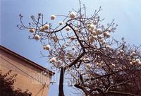 Kapok a Cefalù Un albero di Kapok, pianta tipica dei climi tropicali, a Cefalù  - Cefal? (6409 clic)