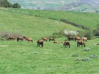 Pascolo tra le campagne e i boschi di Godrano (6460 clic)