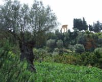 valle dei templi   - Agrigento (2087 clic)